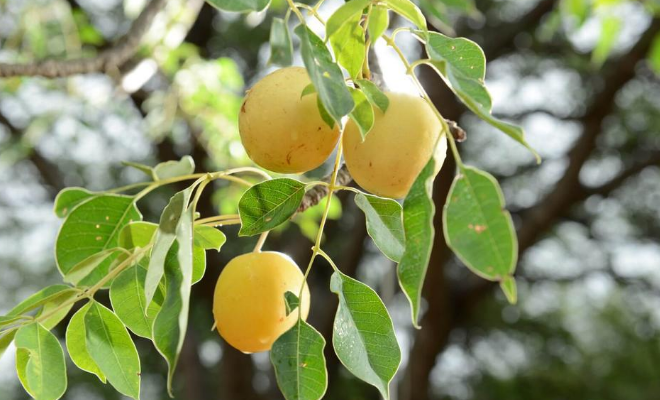plod marula drveta