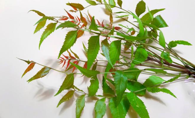 biljka neem